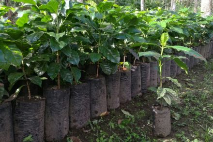 Coffee plant nursery in Honduras