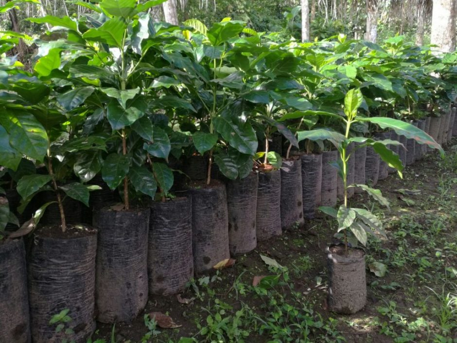 Coffee plant nursery in Honduras