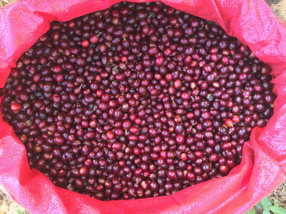 Coffee cherry on producer Sara Castillo's farm, El Crucero.