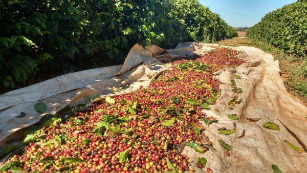 Coffee harvest in Cerrado, Brazil.