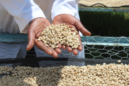 Coffee parchment drying in Kenya.