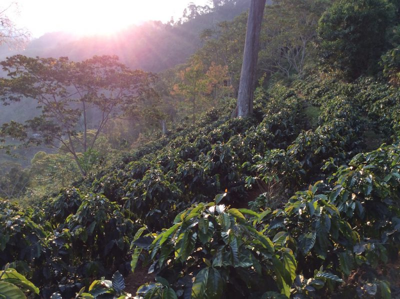 Producers in Cajamarca, Peru, contributed to both our Chasqui and Cafe Capili green coffees.