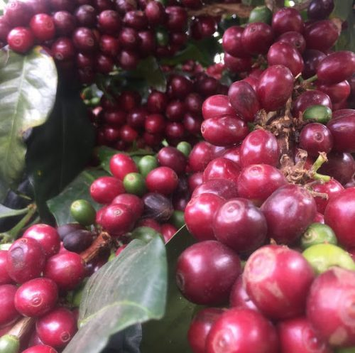 Ripe coffee cherry in La Capilla, Peru
